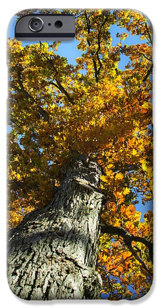Fall Scenes iPhone Cases - Mighty Oak Tree iPhone Case by Christina Rollo