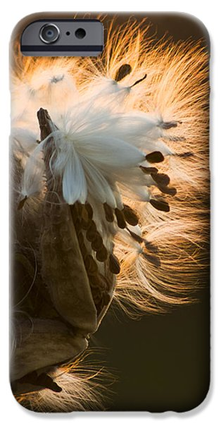 Nature Study iPhone Cases - Milkweed Seed Pod iPhone Case by Adam Romanowicz