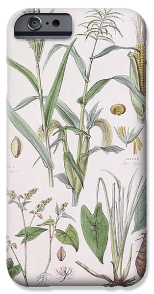Botanical Drawings iPhone Cases - Millet Maize Buckwheat and Taro iPhone Case by W Fitch