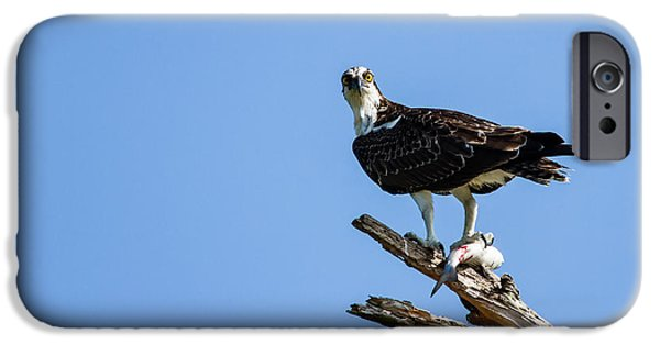 Sea Birds iPhone Cases - Mine Osprey Fort George Inlet Florida iPhone Case by Dawna  Moore Photography