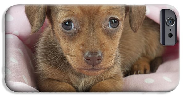 Dachshund Puppy iPhone Cases - Miniature Dachshund Puppy iPhone Case by John Daniels