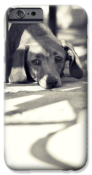 Domesticated Animals iPhone Cases - Miniature Dachshund  iPhone Case by Samuel Whitton