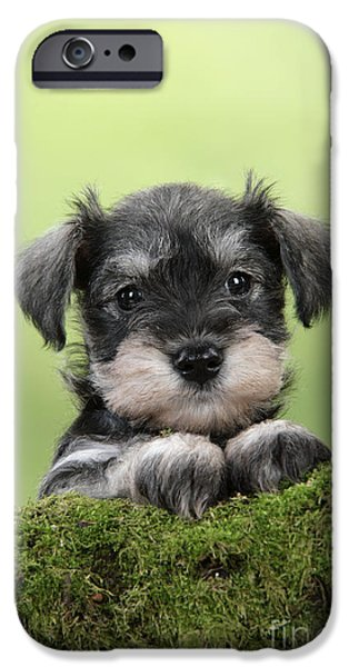 Dog Close-up iPhone Cases - Miniature Schnauzer Puppy iPhone Case by John Daniels