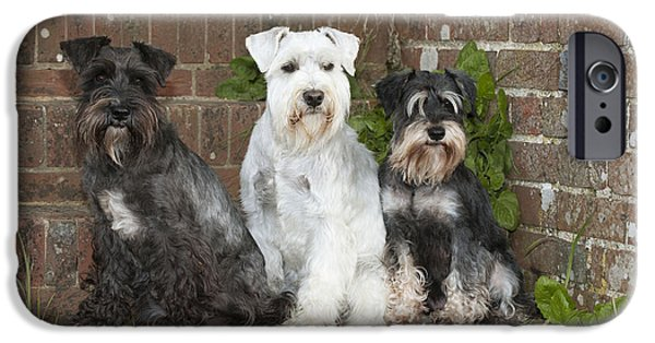 Cute Schnauzer iPhone Cases - Miniature Schnauzers iPhone Case by John Daniels