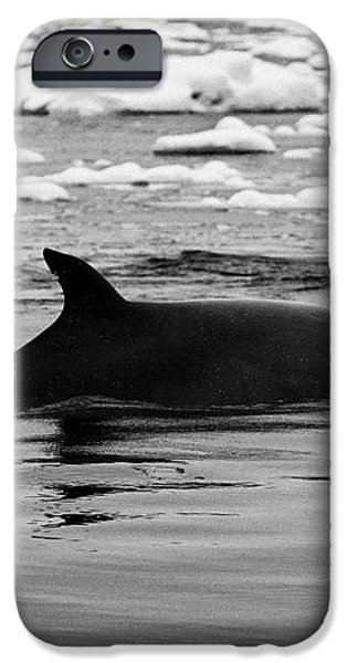 minke whale with marked notched dorsal fin and yellow diatom marking with tourist zodiac boats in th iPhone Case by Joe Fox