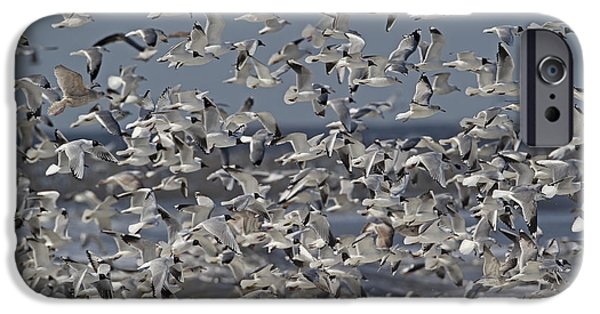 Herring Gull iPhone Cases - Mixed Gull Flock iPhone Case by Neil Bowman FLPA