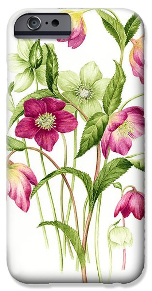 Tasteful Art iPhone Cases - Mixed hellebores iPhone Case by Sally Crosthwaite