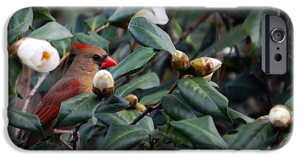 Photos Of Birds iPhone Cases - Momma Cardinal iPhone Case by Skip Willits