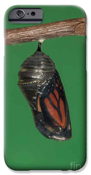 Monarch Butterfly Chrysalis IV iPhone Case by Clarence Holmes