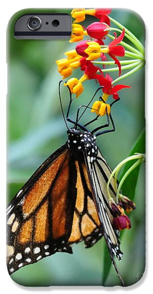 Butterfly iPhone Cases - Monarch Butterfly Sips Nectar from Candy Flowers Yellow and Red iPhone Case by Wayne Nielsen