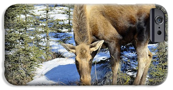 Young Pyrography iPhone Cases - Moose Connection iPhone Case by Debra  Miller