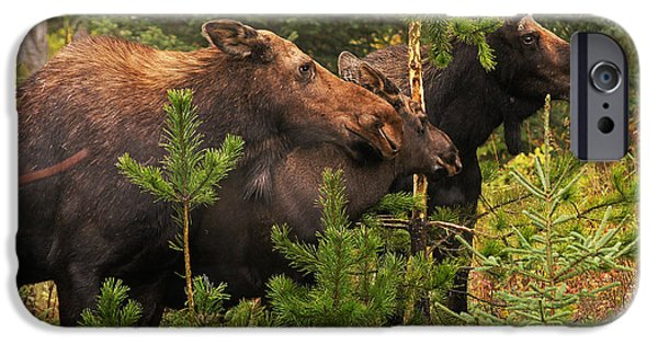 Bull Moose iPhone Cases - Moose Family at the Shredded Pine iPhone Case by Stanza Widen