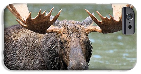Moose In Water iPhone Cases - Moose With A Mouthful iPhone Case by Adam Jewell