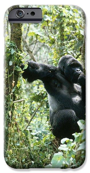 Gorilla iPhone Cases - Mountain Gorilla iPhone Case by Tierbild Okapia