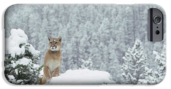 Photos Of Cats iPhone Cases - Mountain Lion In Snow Montana iPhone Case by Alan & Sandy Carey