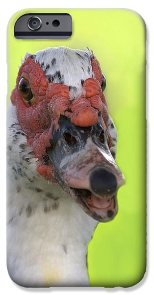 Muscovy Duck iPhone Case by Rudy Umans