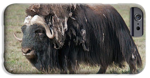 Shed iPhone Cases - Muskox Shedding Winter Coat iPhone Case by Mark Newman
