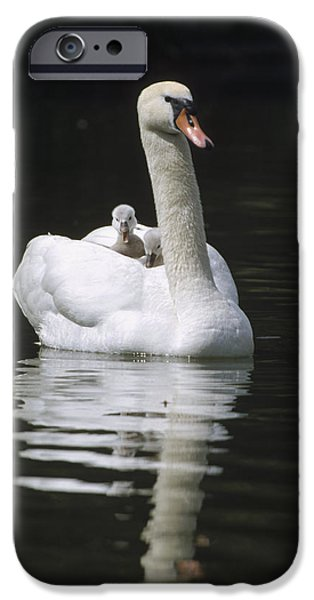 Mute Swan With Chicks On Back iPhone Case by Konrad Wothe