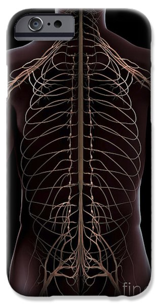 Sacral Plexus iPhone Cases - Nerves Of The Trunk iPhone Case by Science Picture Co
