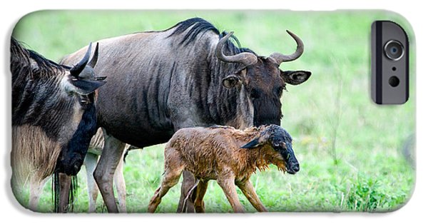 Bonding iPhone Cases - Newborn Wildebeest Calf iPhone Case by Panoramic Images