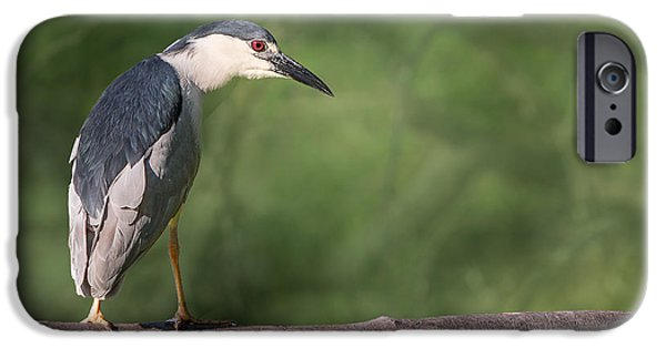 Fauna iPhone Cases - Black-crowned Night Heron Perched iPhone Case by Patti Deters