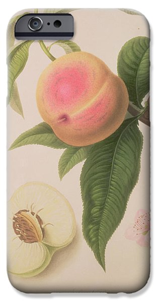 19th Century Drawings iPhone Cases - Noblesse Peach iPhone Case by William Hooker