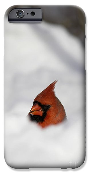 Snowbank iPhone Cases - Northern Cardinal iPhone Case by Cal Vornberger