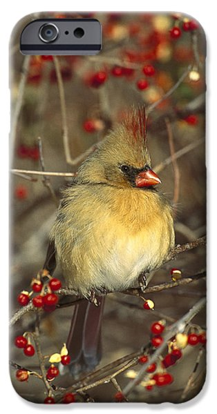 Berry iPhone Cases - Northern Cardinal Female In Bittersweet iPhone Case by Tom Vezo