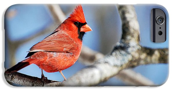 Cardinal iPhone Cases - Northern Cardinal Scarlet Blaze iPhone Case by Christina Rollo