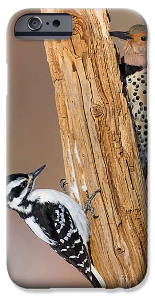 Northern Flicker and Hairy Woodpecker iPhone Case by Jim Zipp