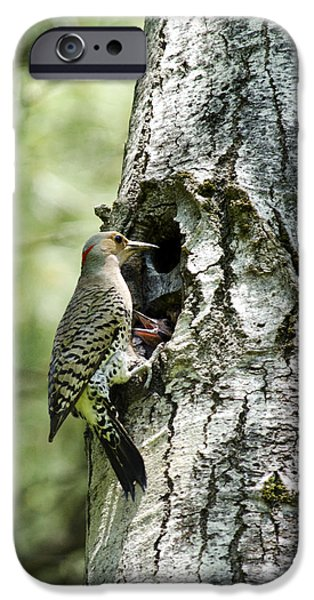 Woodpecker iPhone Cases - Northern Flicker Nest iPhone Case by Christina Rollo