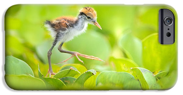 Birds iPhone Cases - Northern Jacana Jacana Spinosa Chick iPhone Case by Panoramic Images