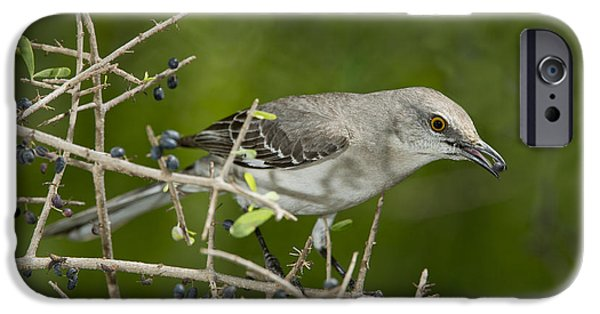 Mockingbird iPhone Cases - Northern Mockingbird iPhone Case by Anthony Mercieca