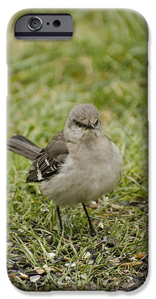 Mockingbird iPhone Cases - Northern Mockingbird iPhone Case by Heather Applegate