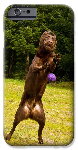 Chocolate Lab iPhone Cases - Nute and the ball iPhone Case by Jean Noren