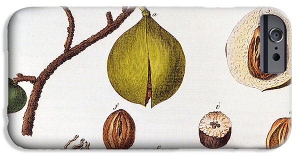 Botanical Drawings iPhone Cases - Nutmeg Myrsitica Fragrans iPhone Case by Anonymous