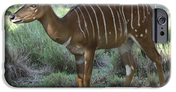 Animals Photographs iPhone Cases - Nyala iPhone Case by John Telfer