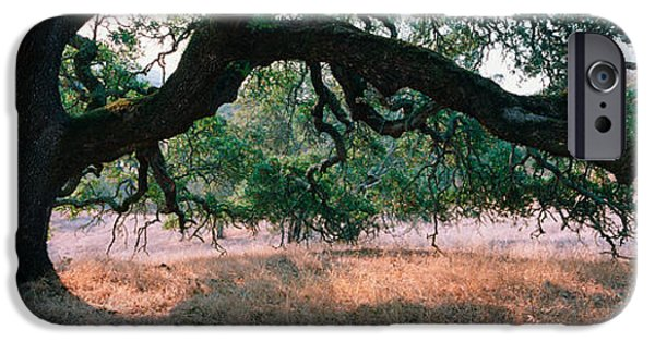 Sonoma iPhone Cases - Oak Tree On A Field, Sonoma County iPhone Case by Panoramic Images