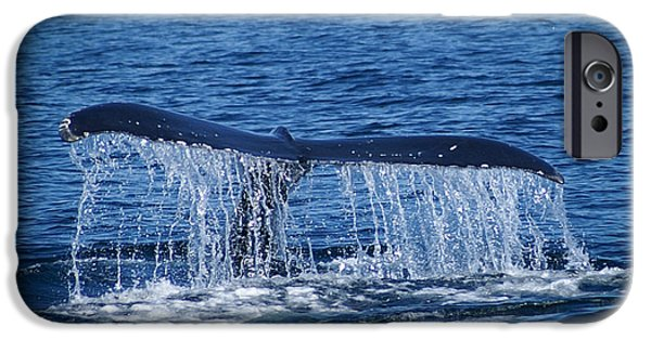 Marine iPhone Cases - Ocean Dive Of The HUmpback Whale iPhone Case by Tom Gari Gallery-Three-Photography