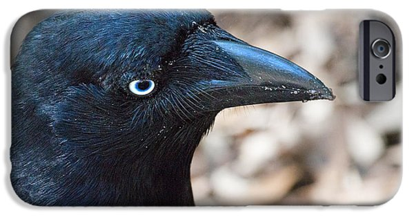 Whitsunday iPhone Cases - Old Blue Eyes the Raven iPhone Case by Mr Bennett Kent