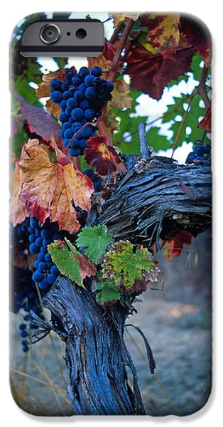 Vineyard Prints iPhone Cases - Old Vine iPhone Case by Kathy Yates