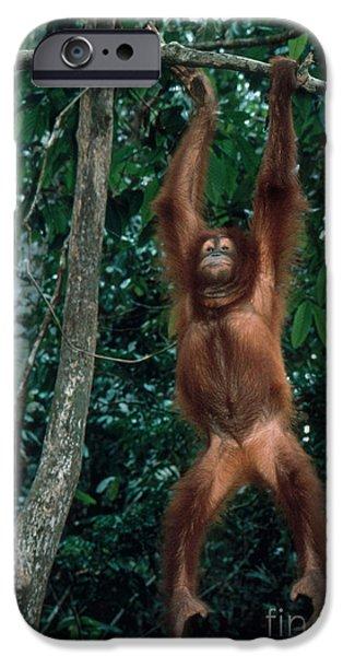 Orangutan iPhone Cases - Orangutan In Malaysia iPhone Case by Mark Newman