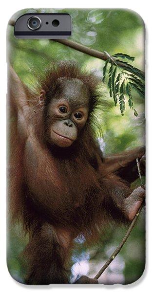 Orangutan Infant Hanging Borneo iPhone Case by Konrad Wothe
