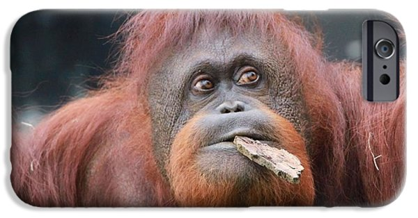 Orangutan iPhone Cases - Orangutan Portrait iPhone Case by Dan Sproul