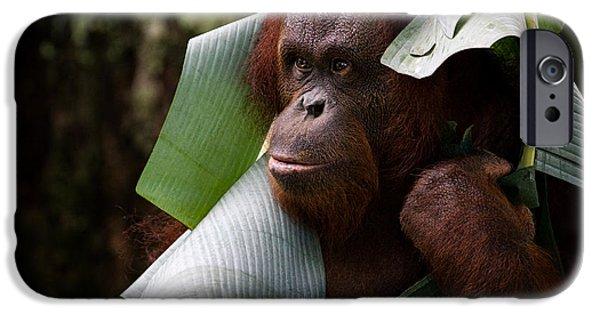 Orangutan iPhone Cases - Orangutan iPhone Case by Zoe Ferrie