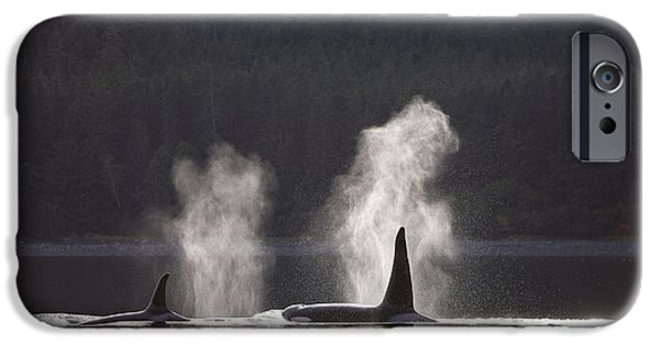 Inside Passage iPhone Cases - Orca Whales Surface Along A Forested iPhone Case by John Hyde