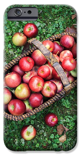 Fruit Basket iPhone Cases - Orchard fresh picked apples iPhone Case by Edward Fielding