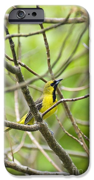 Indiana Springs iPhone Cases - Orchard Oriole - D009003 iPhone Case by Daniel Dempster