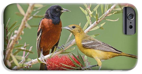 Oriole iPhone Cases - Orchard Oriole Pair iPhone Case by Bonnie Barry