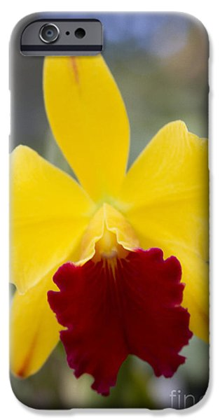 Orchid Beauty - Cattleya - Pot Little Toshie Mini Flares Mericlone Hawaii iPhone Case by Sharon Mau